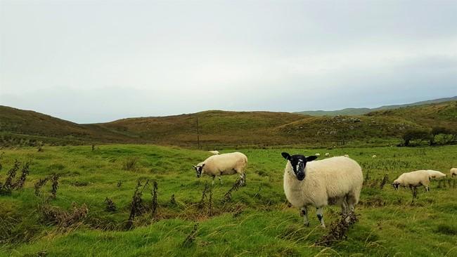 moutons en irlande