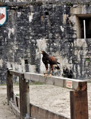 festival medieval de provins oiseaux
