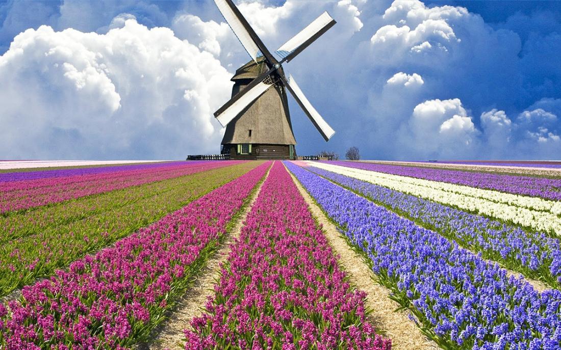 tulips and mills in nederlands