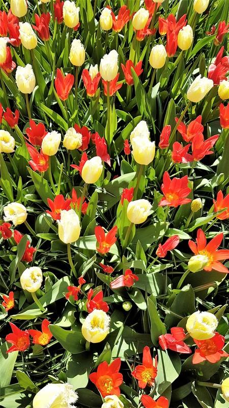 keukenhof-parc-lisse-holland-netherlands-tulips (1)