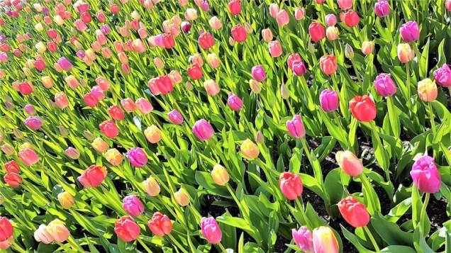 keukenhof-parc-lisse-holland-netherlands-tulips (15)