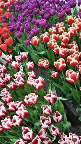 keukenhof-parc-lisse-holland-netherlands-tulips (17)