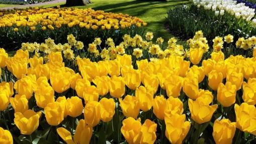keukenhof-parc-lisse-holland-netherlands-tulips (3)