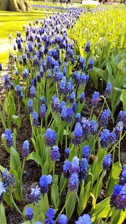 keukenhof-parc-lisse-holland-netherlands-tulips (4)