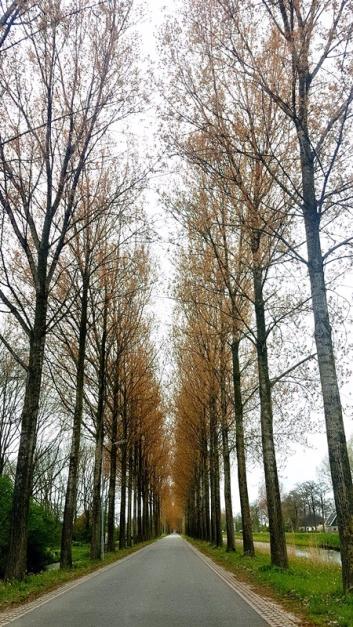 arbres allée Zaanse Schans