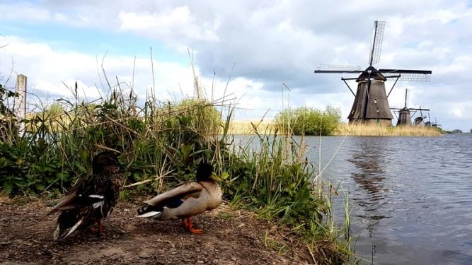 Kinderdjik ducks
