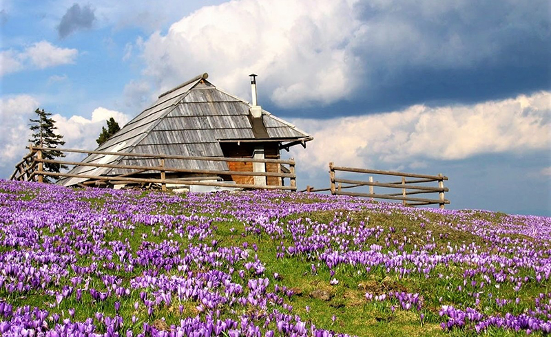 crocus fleurs a velika planina en slovenie