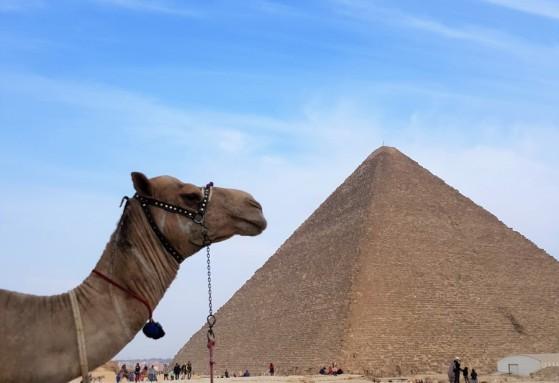 camel pyramid de gizeh cairo egypt